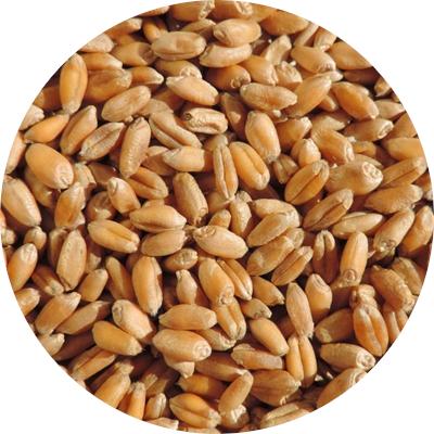 Ekologiškų kviečių supirkimas (maistui)